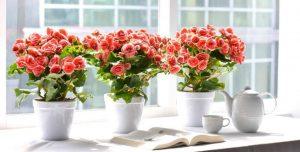 Các loại hoa Tết dễ trồng đem lại may mắn cho gia chủ