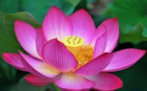 Ý nghĩa của hoa sen hồng – quốc hoa của Việt Nam