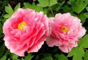 Ý nghĩa của hoa mẫu đơn đỏ – loài hoa vương giả