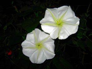 Top những loài hoa chỉ nở về đêm đẹp nhất