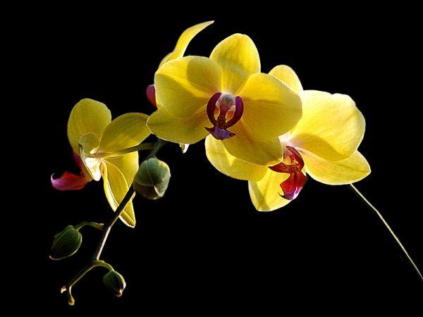 Ý nghĩa của hoa địa lan vàng Hoàng Hậu – loài hoa đắt đỏ