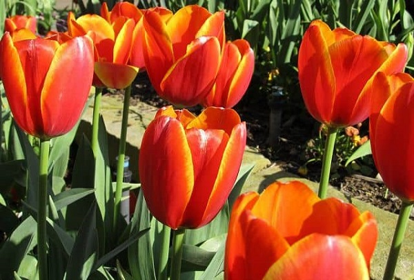 Ý nghĩa các màu hoa tulip, bạn có biết?