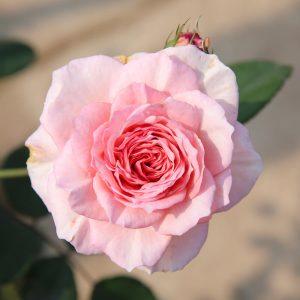 Những câu nói hay về hoa hồng – loài hoa của tình yêu và sắc đẹp
